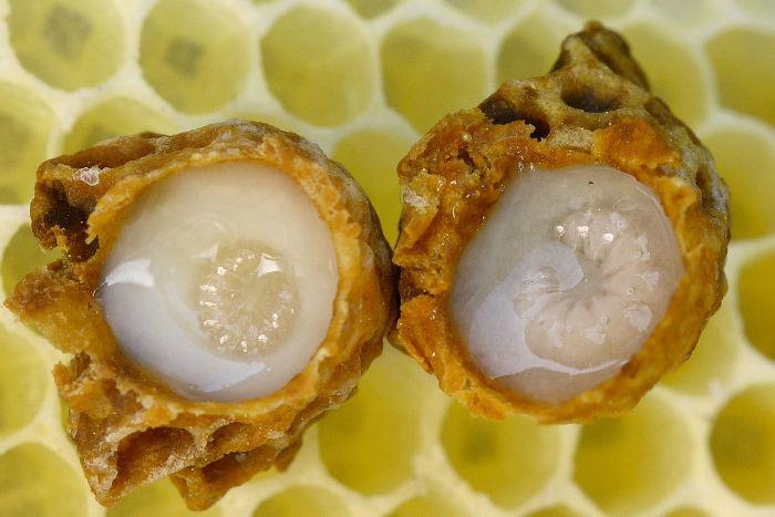1200px Weiselzellen 68a w700 - زندگی زنبورهای عسل؛ ۱۰ واقعیت جالب و باورنکردنی در مورد زنبورهای عسل که نمی دانستید