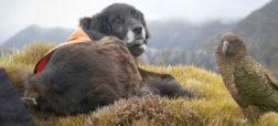 آژاکس؛ سگ باهوشی که در حفاظت از یگ گونه طوطی در خطر انقراض به محققان کمک می کند