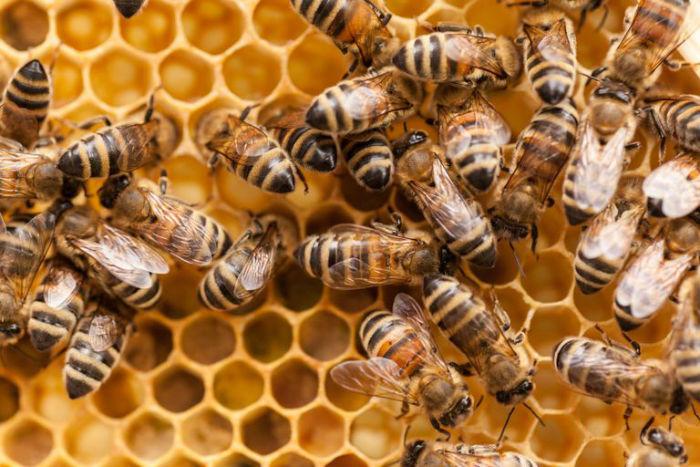 GettyImages 518638797 5730da445f9b58c34cad340c w700 1 - زندگی زنبورهای عسل؛ ۱۰ واقعیت جالب و باورنکردنی در مورد زنبورهای عسل که نمی دانستید