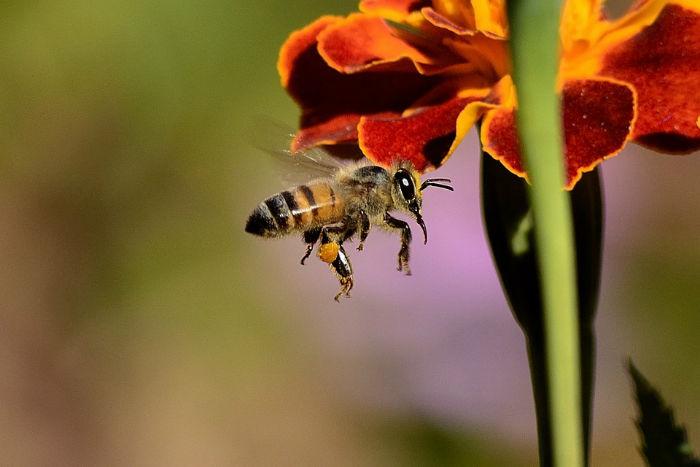 ۱۰ واقعیت جالب و باورنکردنی در مورد زنبورهای عسل که نمی دانستید
