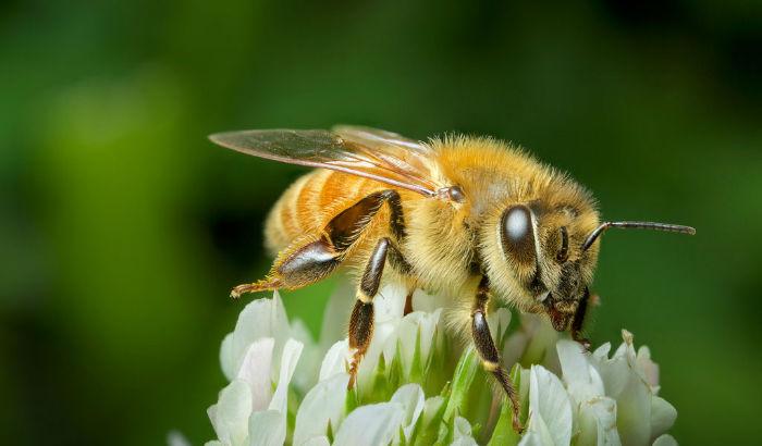 honey bee 1 w700 - زندگی زنبورهای عسل؛ ۱۰ واقعیت جالب و باورنکردنی در مورد زنبورهای عسل که نمی دانستید