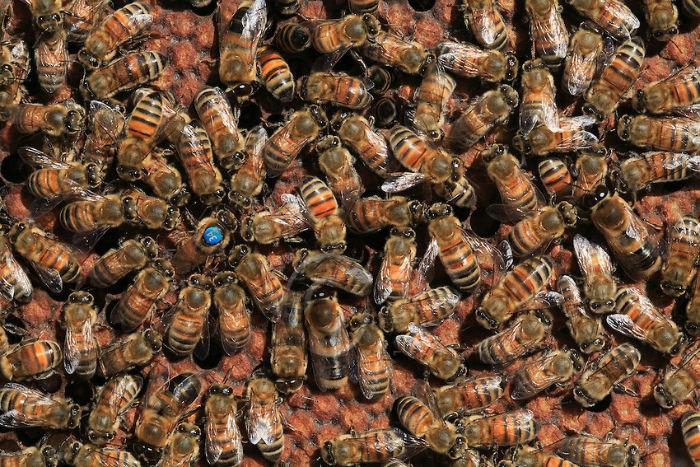 honey bee queen045 w700 - زندگی زنبورهای عسل؛ ۱۰ واقعیت جالب و باورنکردنی در مورد زنبورهای عسل که نمی دانستید