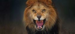 ویدیویی ترسناک از حمله شیر به عکاسی که مزاحم غذا خوردن او شده است [تماشا کنید]