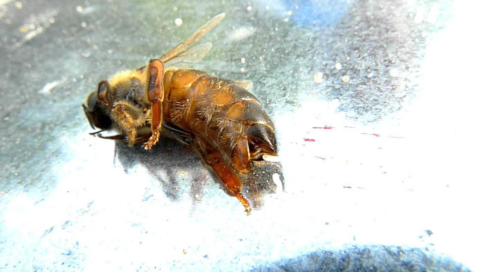 maxresdefault 1 w700 1 - زندگی زنبورهای عسل؛ ۱۰ واقعیت جالب و باورنکردنی در مورد زنبورهای عسل که نمی دانستید