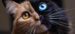 زیباترین گربه جهان «کایمرا»یی بینظیر از طبیعت است