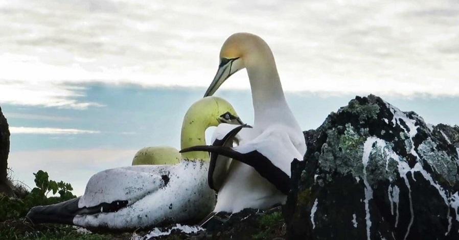 «نایجِل»؛ غمگینترین پرنده جهان
