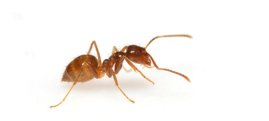 مورچه دیوانه