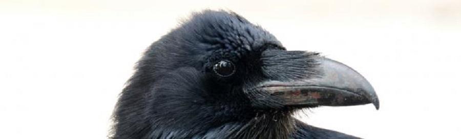 کلاغ باهوشترین پرنده جهان است