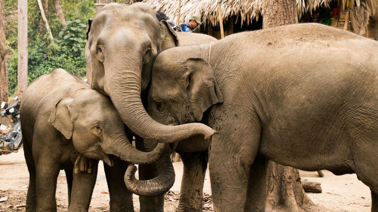 پوست فیل