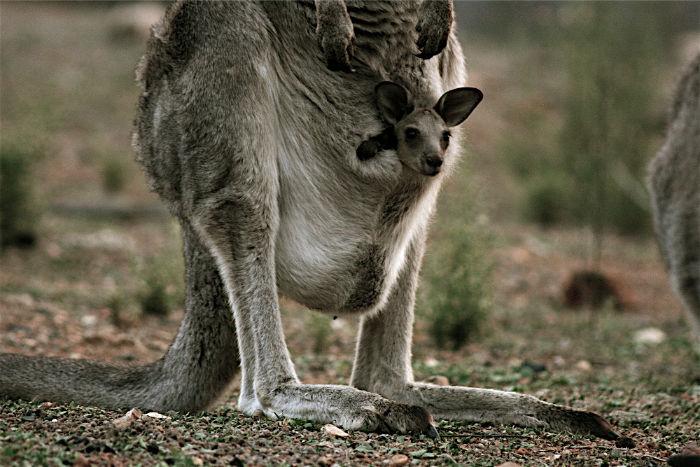 بارداری در حیوانات