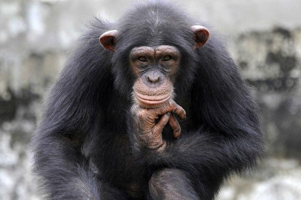 رفتارهای شبه انسان در حیوانات