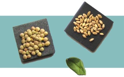 آموزش زمان لازم برای کاشت انواع سبزه عید نوروز