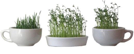 زمان سبزه ذرت زمان لازم برای کاشت انواع سبزه عید نوروز - روزیاتو