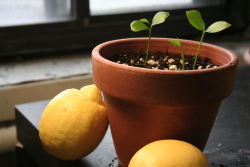 آموزش کاشت سبزه عید با هسته پرتقال، لیمو یا نارنج