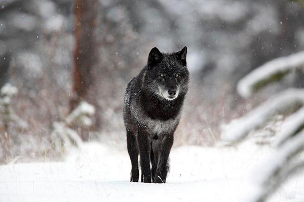 دنیای گرگ ها