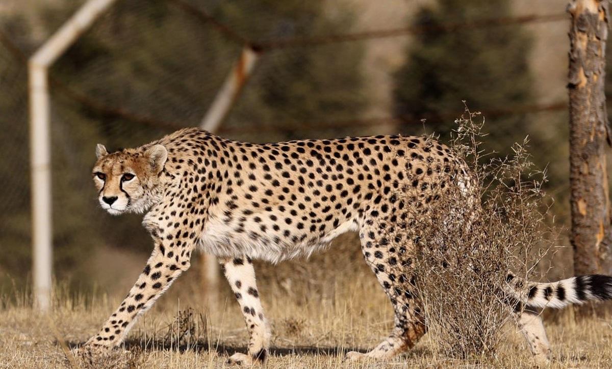 یوزپلنگ های ایرانی / دلبر و کوشکی