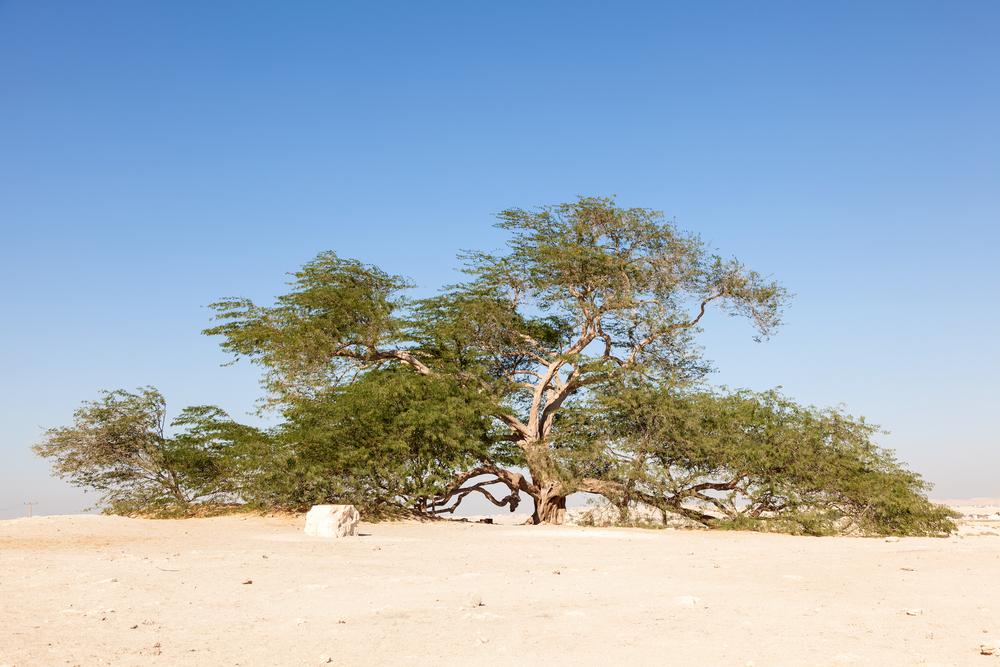 مشهورترین درختهای سراسر جهان را بشناسید
