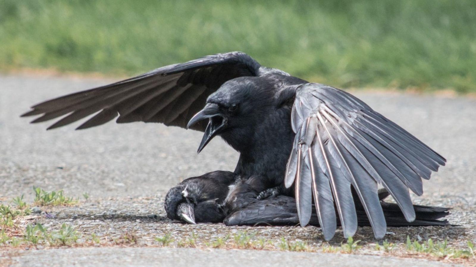 مرگ دستهجمعی کلاغها در قم؛ پرندگانی که از مرگ میترسند