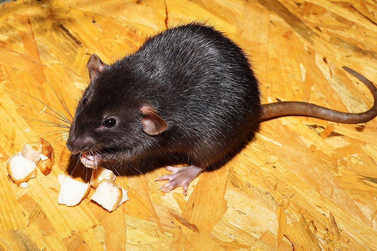 مسمومیت با مرگ موش در انسان؛ نحوه عملکرد سم، علائم و روش های درمان