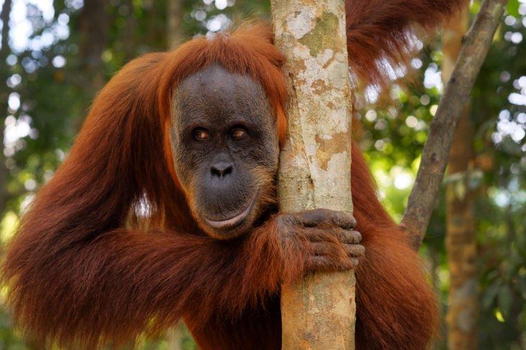 شباهت های اورانگوتان ها به انسان ها