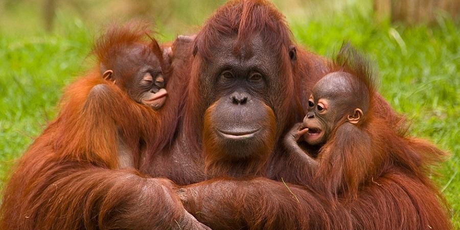 ۱۳ شباهت حیرت انگیز اورانگوتان ها به انسان