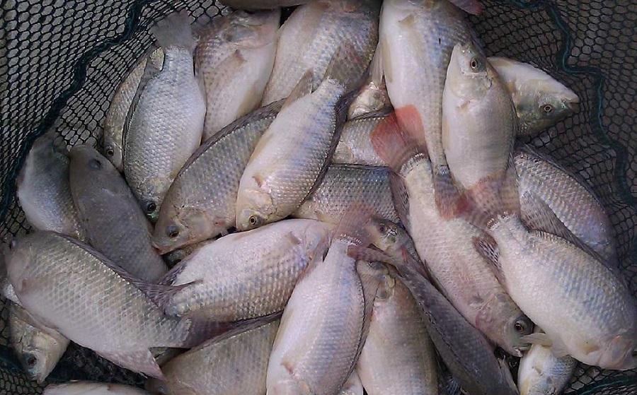 اصول پرورش ماهی تیلاپیلا و نکات مصور در تولید و محاسبه سود