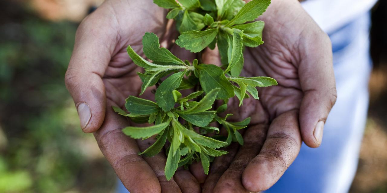 استویا یک گیاه بوته ای برگ دار است که در حدود 150 گونه از آن وجود داشته و بومی آمریکای شمالی و جنوبی است.
