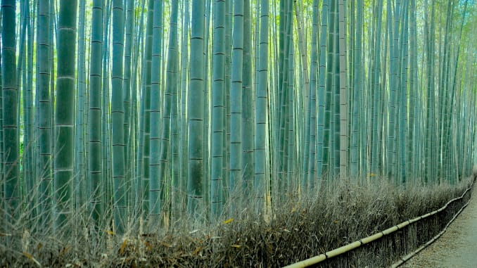 جنگل بامبوی ساگانو در کیوتو