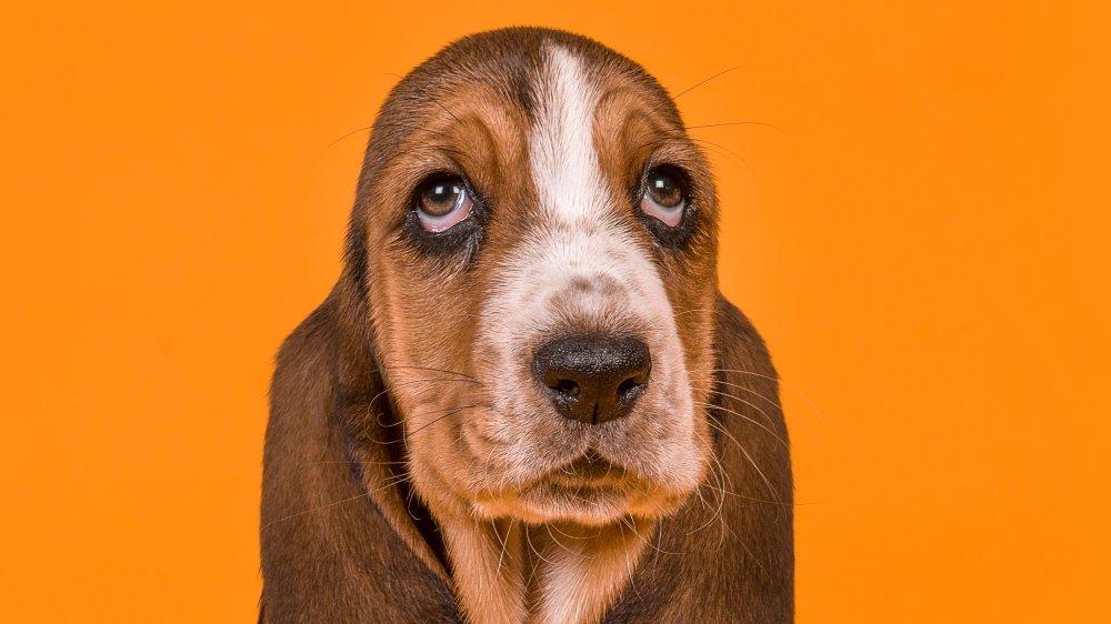 کندترین نژادهای سگ