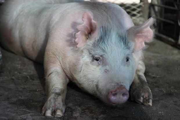 برای اولین بار در جهان، در چین و بعد از ایجاد تغییرات ژنتیکی در سلول های بنیادین سینومولگوس میمون در طبیعت، دو خوک بدنیا آمدند.
