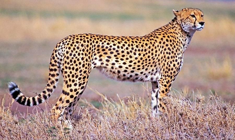 ۷ حقیقت جالب در مورد چیتا، سریعترین پستاندار جهان که شاید نمیدانستید