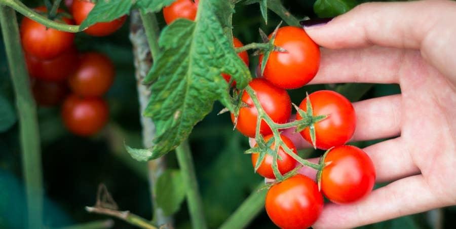 دانشمندان به کمک مهندسی ژنتیک موفق به تولید یک گونه گوجه فرنگی آلبالویی شده اند که مانند درخت انگور رشد کرده و میوه های بیشتری تولید می کند.