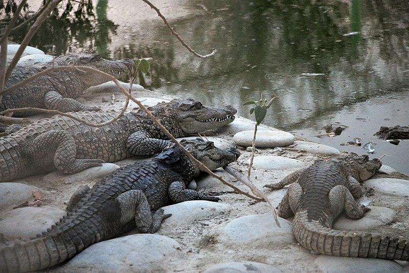 با گاندو یا تمساح پوزه کوتاه بیشتر آشنا شوید