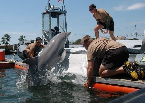 برای سال ها، بوریس ژورید روسی مشغول آموزش دسته ای از دلفین ها به منظور انجام عملیات های ترور برای نیروی دریایی اتحاد جماهیر شوروی بوده است