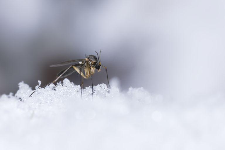 پشه ها در زمستان کجا می روند