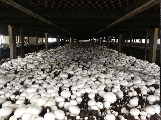 کلیاتی درباره تولید و پرورش قارچ و اخذ مجوز تولید