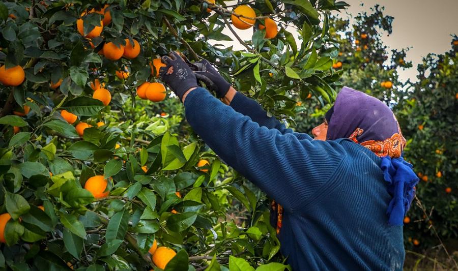 استفاده از میوه تولید داخل برای تأمین مواد طعمدهنده