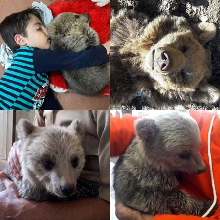 آن ها این توله خرس را با خود به خانه یکی از محیط بانان برده و اکنون توله خرس مذکور که نام هویار برای آن انتخاب شده شاد و خوشحال در کنار بچه های این محیط بان مریوانی زندگی می کند.