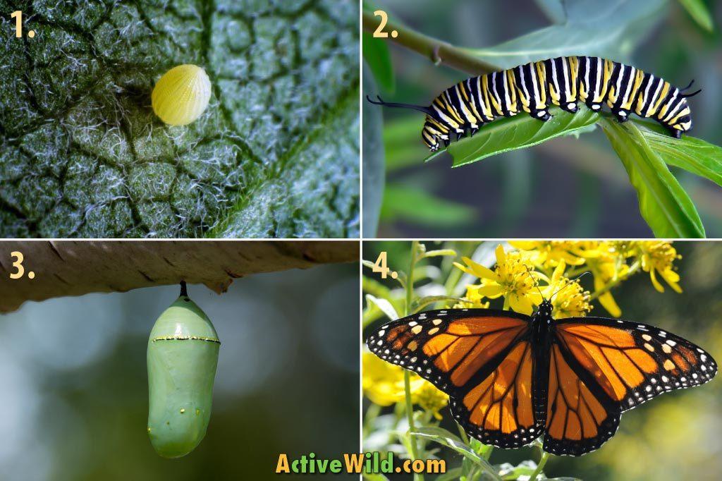 چرخه زندگی یک پروانه در چهار مرحله + فیلم