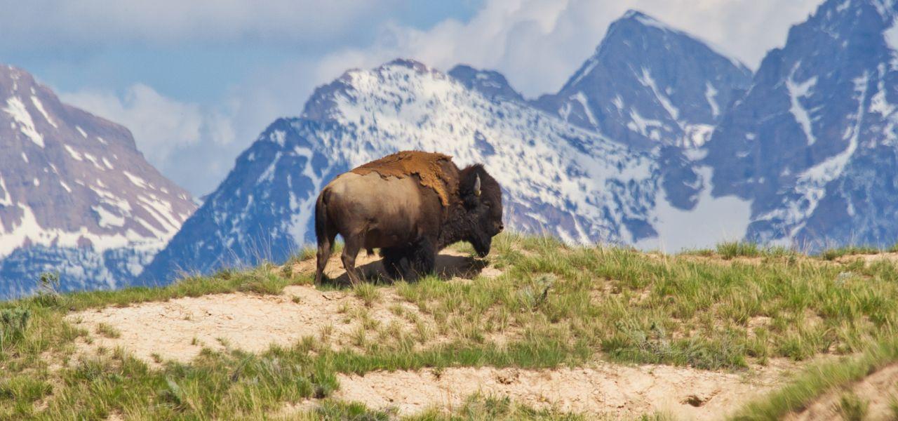 گاومیش کوهان دار آمریکایی (American bison) یک پستاندار سم دار و گیاهخوار است که در دشت های ایالات متحده و کانادا زندگی می کند.