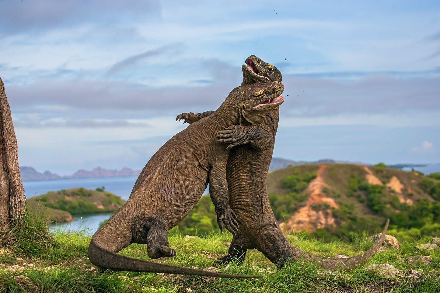 اژدهای کومودو خزنده ای گوشتخوار است که با طول 10 فوت (حدود سه متر) و وزن 330 پوند (حدود 150 کیلوگرم) یکی از بزرگ ترین خزندگان به شمار می آید.