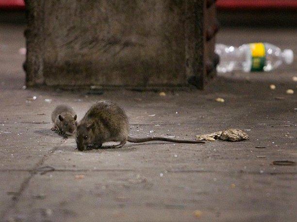 موش ها منشأ جدید هپاتیت در انسان