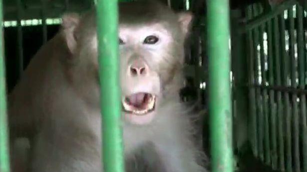 میمون الکلی