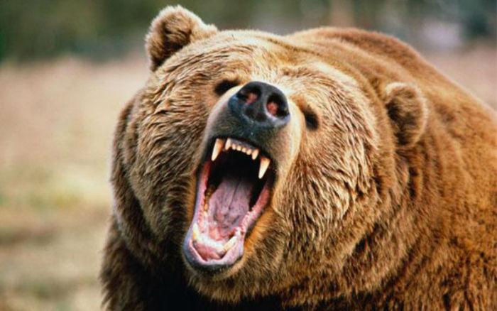 یک خرس قهوه ای در شمال ایتالیا به خاطر حمله به پدر و پسر کوهنورد به مرگ محکوم شد
