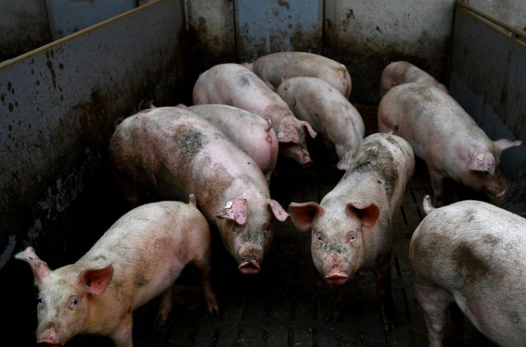 آنفلوانزای خوکی جدید