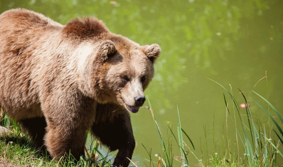 حمله خرس قهوه ای در ایتالیا