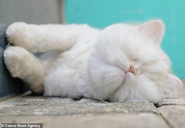 موئت گربه پرشین نابینا
