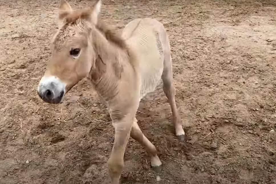 اولین اسب پرزوالسکی (Przewalski) است که کلون سازی آن موفقیت آمیز است، گونه ای در حال انقراض که در استپ های آسیای مرکزی زندگی می کند.