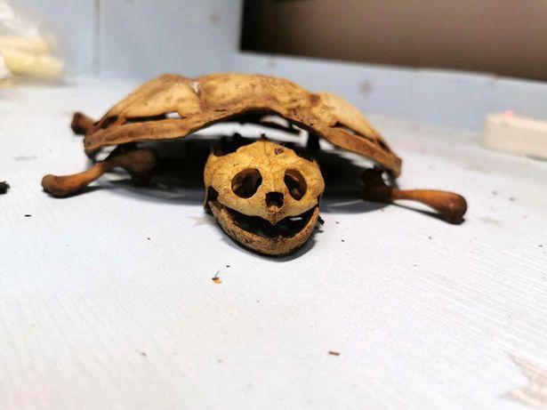 لاکپشت قربانی کرونا