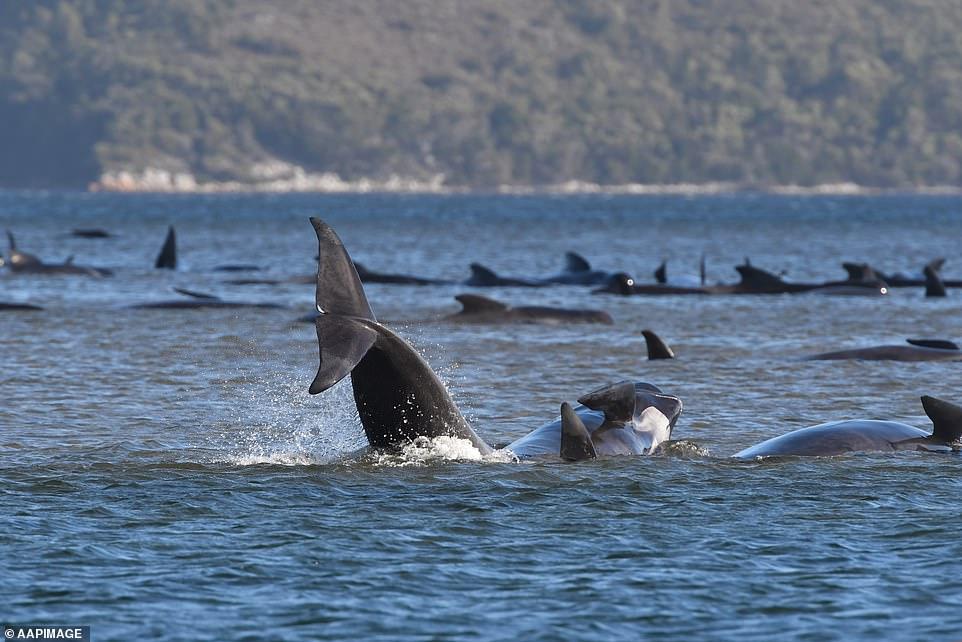 خودکشی دسته جمعی صدها نهنگ خلبان در سواحل تاسمانی